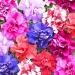 Цветы Петуния Дуэт F1 смесь