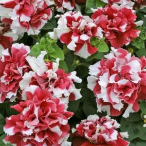 Цветы Петуния Дуо Ред энд Вайт F1