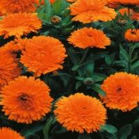 Цветы Календула Джем оранж