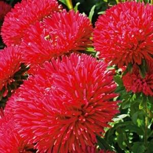 Цветы Астра Джоконда