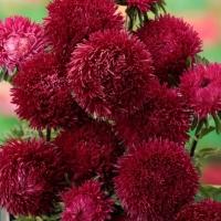Цветы Астра Джувел Гранат