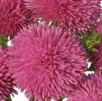 Цветы Астра Джувел Пурпурит