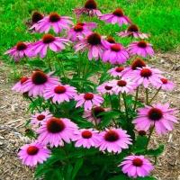 Цветы Эхинацея Пурпурно-Розовая