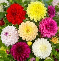 Цветы Георгины смесь Экстрим