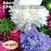 Цветы астра смесь Эрфордия