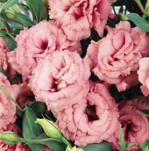 Цветы Эустома АВС 2 F1, розовая, махровая