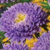 Цветы астра Ева