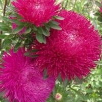 Цветы Астра Фея бала