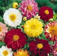 Цветы Георгины смесь Фигаро махровая