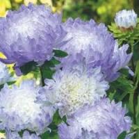 Цветы Астра Фламир бело-голубой