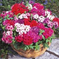 Цветы Флокс Друммонда смесь Красавица