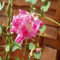Цветы Ипомея Леди Флер