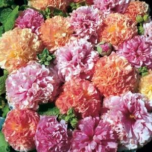 Цветы мальва Фрути Микс