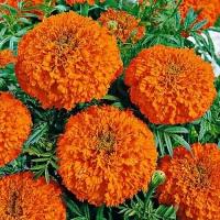 Цветы Бархатцы Гавайи