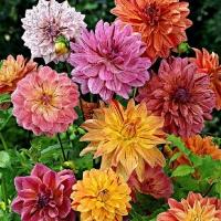 Цветы Георгины смесь Монарх махровая