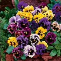 Цветы Виола смесь Германское Рококо