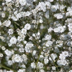 Цветы Гипсофила Паникулата