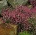 Цветы Гипсофила Розовая Красавица