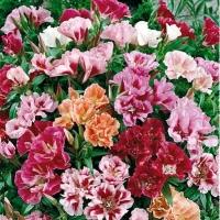Цветы Годеция Махровая