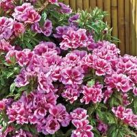 Цветы Годеция Рембрант