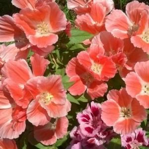 Цветы Годеция Слава Кальведона