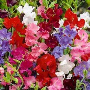 Цветы Горошек Королевская Семья