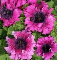 Цветы Петуния грандифлора Темно-Пурпурная F1