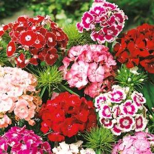 Цветы Гвоздика Турецкая смесь Махровая