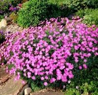 Цветы Гвоздика альпийская Розовая