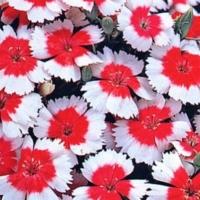 Цветы Гвоздика Карусель, китайская карликовая