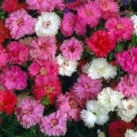 Цветы Гвоздика смесь Перистая
