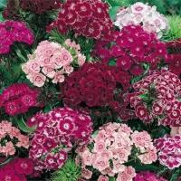 Цветы Гвоздика Турецкая Пурпурная Королева
