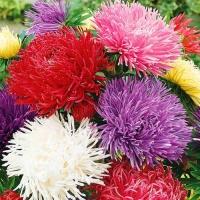 Цветы Астра смесь Харц Колор