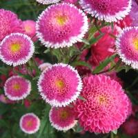 Цветы астра Хи Но Мару