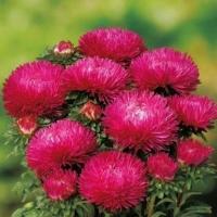 Цветы Астра Хризантелла Малиновый Восторг