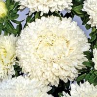 Цветы Астра Хризантела Снежный Восторг
