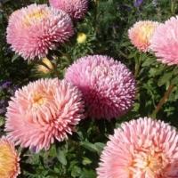 Цветы Астра Хризантелла Жемчужный Восторг