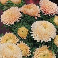 Цветы Астра Хризантелла Золотой восторг