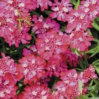 Цветы Иберис Турмалин
