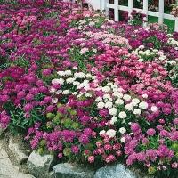 Цветы Иберис Самоцветы