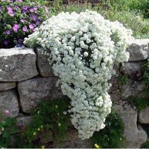 Цветы Иберис Жемчужная россыпь зонтичный