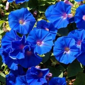 Цветы Ипомея Голубая