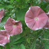 Цветы Ипомея Шоколад