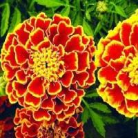 Цветы Бархатцы Испанская парча