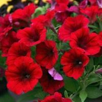 Цветы Петуния ампельная Изи Вейв F1