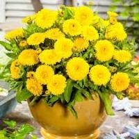 Цветы Календула Джем лимонный
