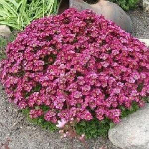 Цветы Камнеломка Арендса Пурпурный ковер