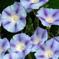 Цветы Ипомея Каприз