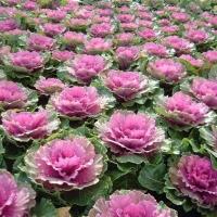 Цветы декоративная Капуста Д