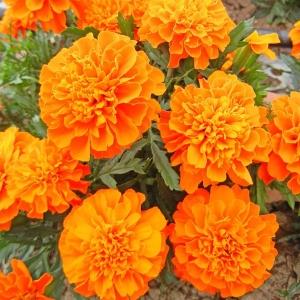 Цветы Бархатцы Карина